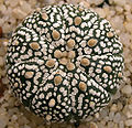 Astrophytum asterias superkabuto.jpg