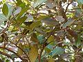 Atalantia racemosa Wight ex Hook. (6812686682).jpg