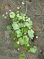 Atlas roslin pl Cymbalaria bluszczykowata 6758 6808.jpg
