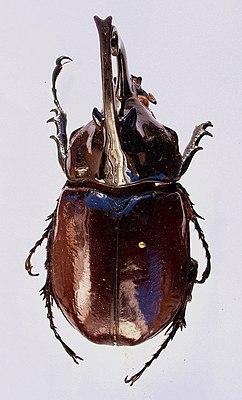 Augosoma Centaurus Wikipedia