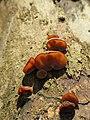 Auricularia auricula-judae 103159120.jpg