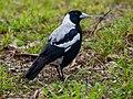 Australian Magpie, Melbourne (21442498251).jpg