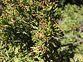 Austrocedrus chilensis.jpg