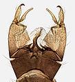 Austrolimnophila ochracea, Trawscoed, North Wales, Aug 2015 2 (23316467680).jpg