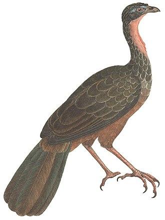 Cracidae - Image: Avium Species Novae (Penelope jacquacu)