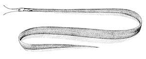 Snipe eel - Avocet snipe-eel