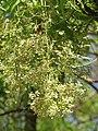 Azadirachta indica - Neem at Tenkasi 2014 (19).jpg