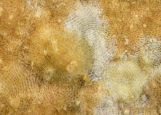 <i>Knoutsodonta depressa</i> species of mollusc