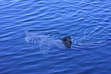 Basking Shark filter feeding