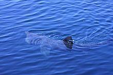 Köpekbalığı filtreli besleme