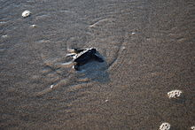 A baby leatherback turtle makes its way to the open ocean