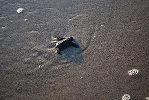 Instinct - A baby leatherback turtle makes its way to the open ocean
