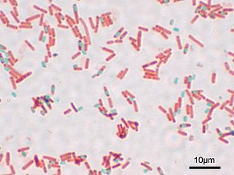 Endospore - A stained preparation of Bacillus subtilis showing endospores as green and the vegetative cell as red