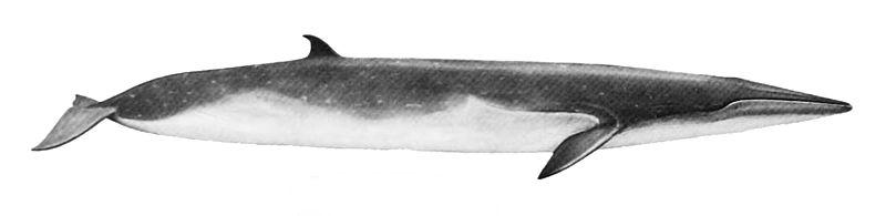 File:Balaenoptera edeni.jpg