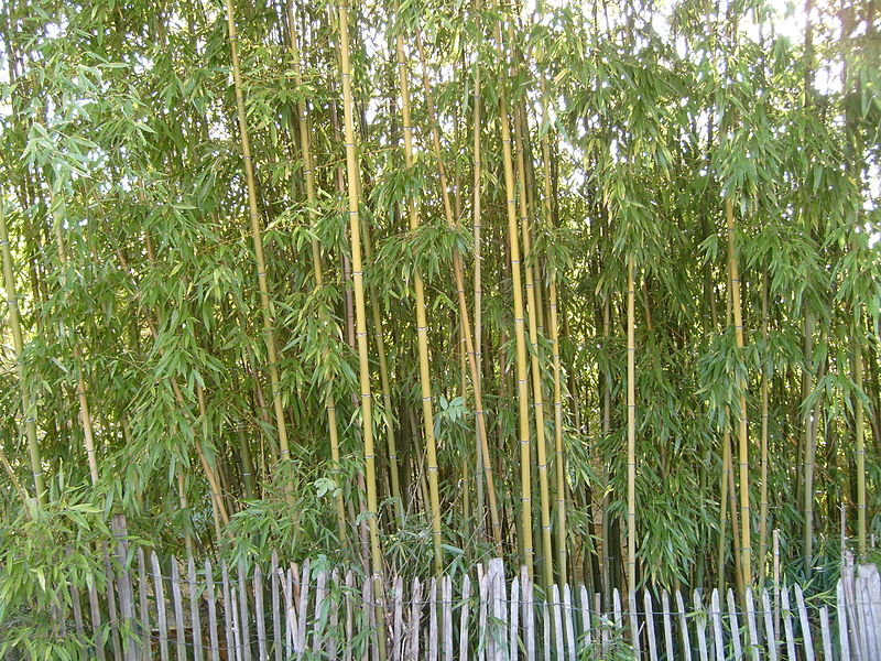 A bamboo blossom bordered by a wooden fence, in Genay, France.