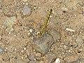 Banded Groundling (Brachythemis leucosticta) female (12011445575).jpg