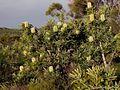 Banksia aemula (Wallum banksia) (15214121213).jpg