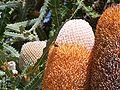 Banksia reabold hill gnangarra.jpg