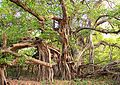 Banyan Tree at Ranthambore National Park.jpg