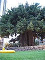 Banyan tree, Waikiki Beach, Oahu, Hawaii, USA3.jpg