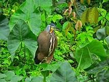 Bare-throated Tiger-heron (Tigrisoma mexicanum) (7087146921).jpg
