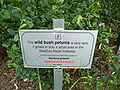 Barleria greenii sign.jpg