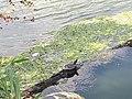 Barska kornjača.jpg