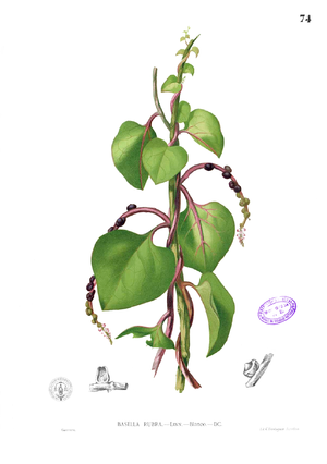 Basellaceae - from Blanco (c. 1880)