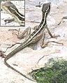 Basiliscus vittatus-3.jpg
