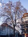 Baum in der Güntzelstraße 20150404 2.jpg