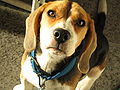 Beagle Face.JPG