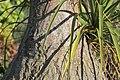 Beaucarnea recurvata, Victoria Esplanade Park (4).jpg