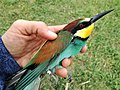Bee-eater at bird ringing, Ventotene 01.jpg