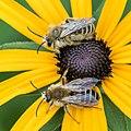 Bee 01 (MK).jpg