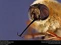 Bee fly (Bombyliidae) (37542817120).jpg