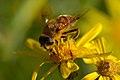 Bee on flower2.jpg