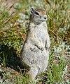 Belding's ground squirrel (Urocitellus beldingi) (28535348301).jpg