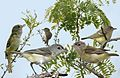 Bells Vireo From The Crossley ID Guide Eastern Birds.jpg