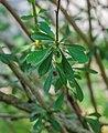 Berberis wilsoniae in La Jaysinia (1).jpg
