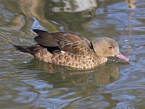 Bernier's teal - At Sylvan Heights Waterfowl Park, North Carolina