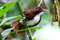 Bicoloured Antbird (Gymnopithys bicolor) (8079754569).jpg