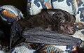 Big eared bat.jpg