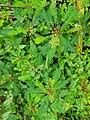 Biophytum sensitivum plants in kerala.jpg