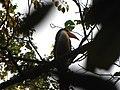Bird White-throated Brown Hornbill Anorrhinus austeni IMG 9075 11.jpg
