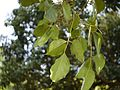 Bischofia javanica (8881535290).jpg