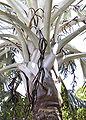 Bismarckiainflower.jpg