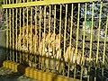 Bitola Zoo Lions.JPG