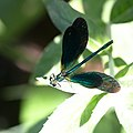 Blå jungfruslända (Calopteryx virgo) - Beautiful demoiselle-1326 - Flickr - Ragnhild & Neil Crawford.jpg