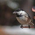 Black-Capped Chickadee (13910880611).jpg