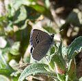 Black-eyed Blue. Glaucopsyche melanops. - Flickr - gailhampshire (6).jpg